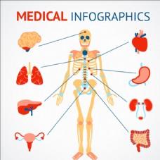 人类骨骼和器官医学信息图