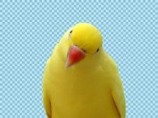 黄色的鹦鹉免抠png透明图层素材