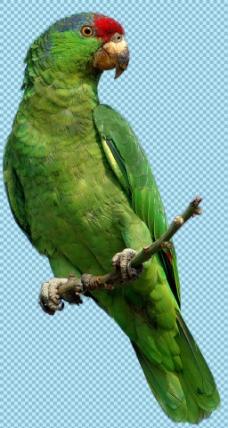 站树枝上的绿色鹦鹉免抠png透明图层素材