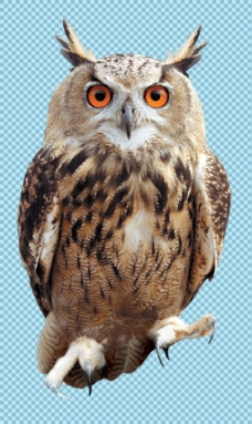 站立凝视的猫头鹰免抠png透明图层素材