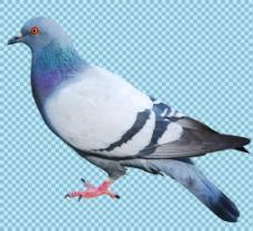 漂亮羽毛的鸽子免抠png透明图层素材