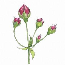 水彩绘玫瑰花蕾插画