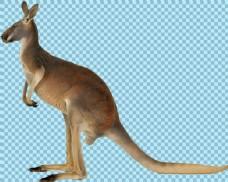 站立的袋鼠免抠png透明图层素材