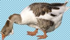 正在啄食的鹅图片免抠png透明图层素材