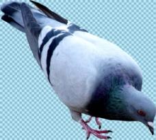 低头啄食的鸽子免抠png透明图层素材
