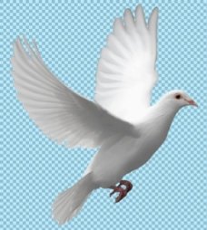 展翅高飞的鸽子免抠png透明图层素材