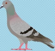 鸽子免抠png透明图层素材
