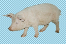 一只大猪免抠png透明图层素材