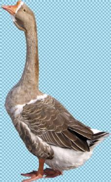 棕褐色昂头的鹅免抠png透明图层素材