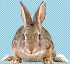 杂毛兔子正面图免抠png透明图层素材