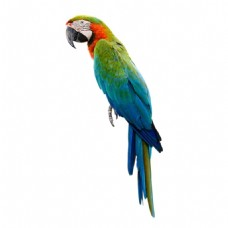 彩色可爱鹦鹉素材