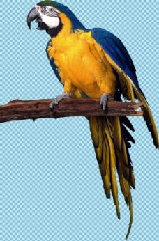 站树枝上的蓝色鹦鹉免抠png透明图层素材
