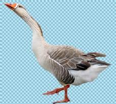 引颈高歌的鹅免抠png透明图层素材