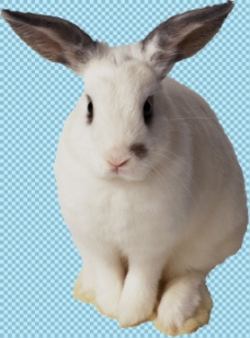 可爱大耳朵兔子免抠png透明图层素材