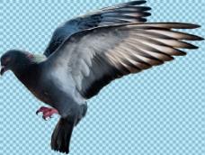 展翅飞翔的鸽子免抠png透明图层素材