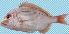 红色调大眼睛鱼图片免抠png透明图层素材