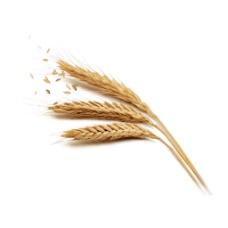 小麦穗png透明免扣素材