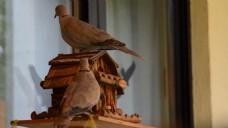 鸽子鸟类生活视频