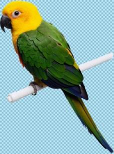 黄头绿身鹦鹉免抠png透明图层素材