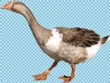 褐色羽毛的鹅免抠png透明图层素材
