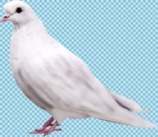 站着的白色鸽子免抠png透明图层素材