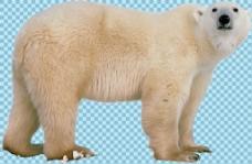 强壮的北极熊免抠png透明图层素材