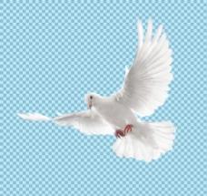白色羽毛飞翔的鸽子免抠png透明图层素材