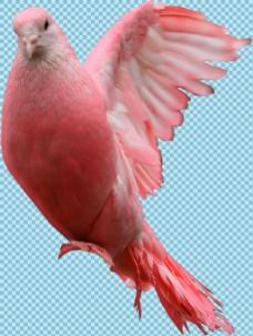 红色的鸽子免抠png透明图层素材