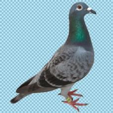 站着的漂亮鸽子免抠png透明图层素材