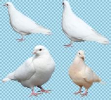 四只白色鸽子免抠png透明图层素材