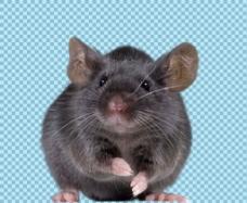 黑色可爱老鼠免抠png透明图层素材