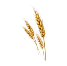 麦子png透明免扣元素