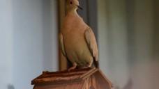 实拍雕塑鸽子视频素材