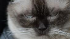 特写宠物猫咪视频