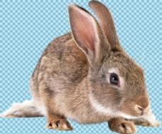 趴着的杂毛兔子免抠png透明图层素材