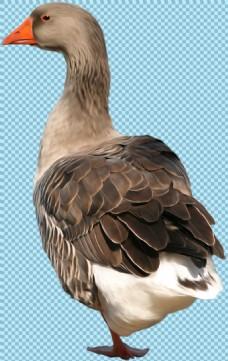 褐色羽毛的鹅图片免抠png透明图层素材
