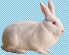 蹲着的白色兔子免抠png透明图层素材