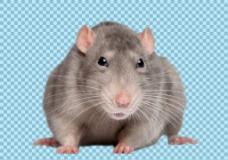 可爱小老鼠免抠png透明图层素材