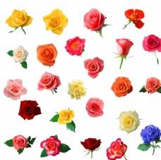 各种颜色玫瑰花