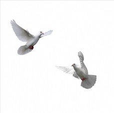 白鸽  鸽子  群鸽