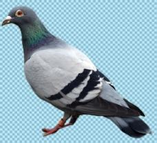 站着的鸽子免抠png透明图层素