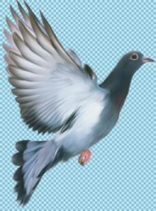 飞翔的灰色鸽子免抠png透明图层素材