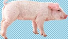 一只小乳猪免抠png透明图层素材