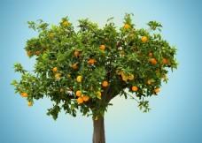 一颗橙子树