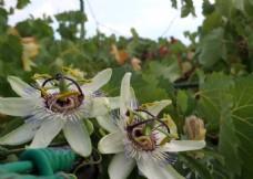 两朵百香果花