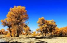 美丽的胡杨树