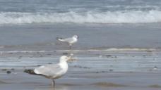 海边鸽子视频素材