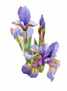紫色蝴蝶兰花园植物花朵水彩手绘矢量文件
