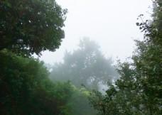 山雾中的树