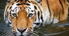 涉水的老虎